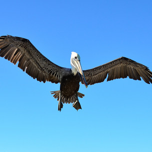 Amazing Island Nature: the delightful pelican!