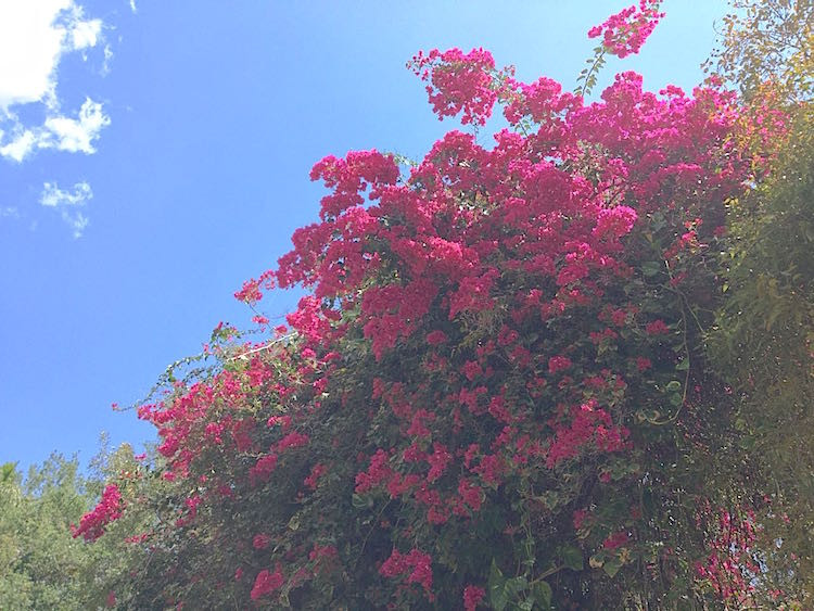 tropical bougainvillea