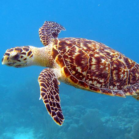 Amazing Island Nature: The remarkable Hawksbill Sea Turtle