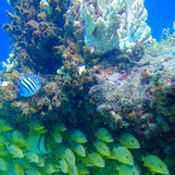 Snorkeling the tropical reef: How to identify the Sergeant major fish