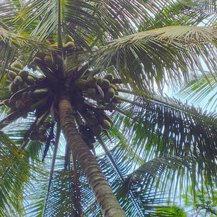 Island nature: the allure of coconut palms on a tropical beach