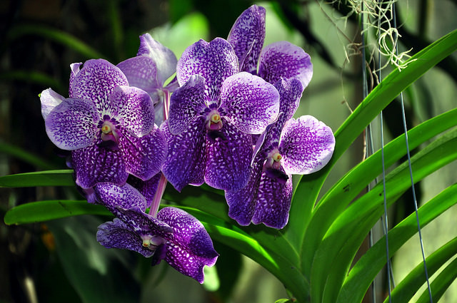 tropical island orchids