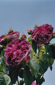 Bespoke Fragrances, Burberry