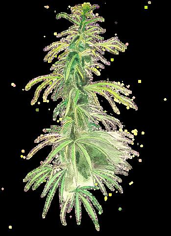 Marihuana.png