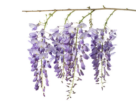 wisteria flowers isolated on white.jpg