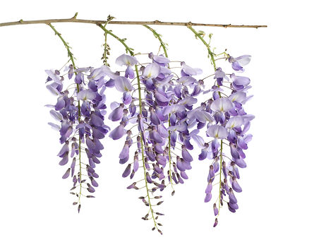 %20wisteria%20flowers%20isolated%20on%20