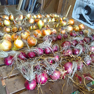 Onions Onions Onions!