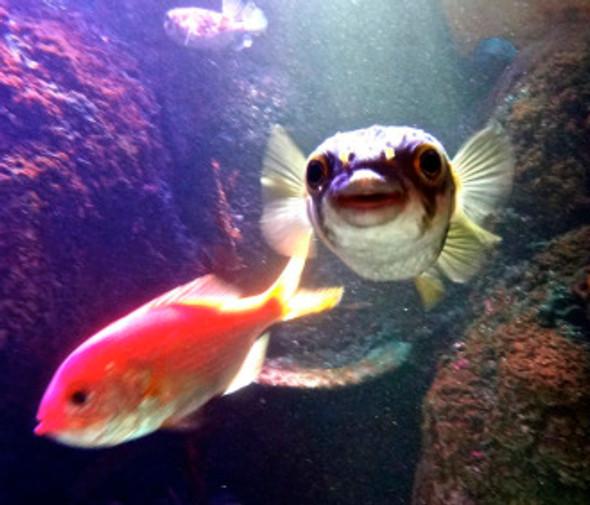 aq-cowfish