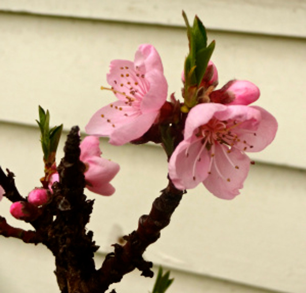 peach blossoms on my dwarf tree - hoping they'll mature all the way this year!
