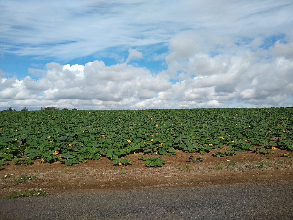 zucchinifield
