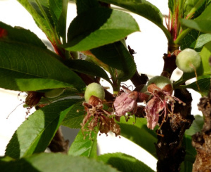 Look closely - those little fuzzballs are baby peaches on my dwarf tree - crossing fingers they mature fully this year!