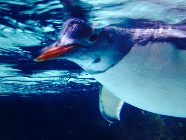 How do you not love this sweet penguin?  Taken by my sweetheart at the aquarium - can't wait to go myself!