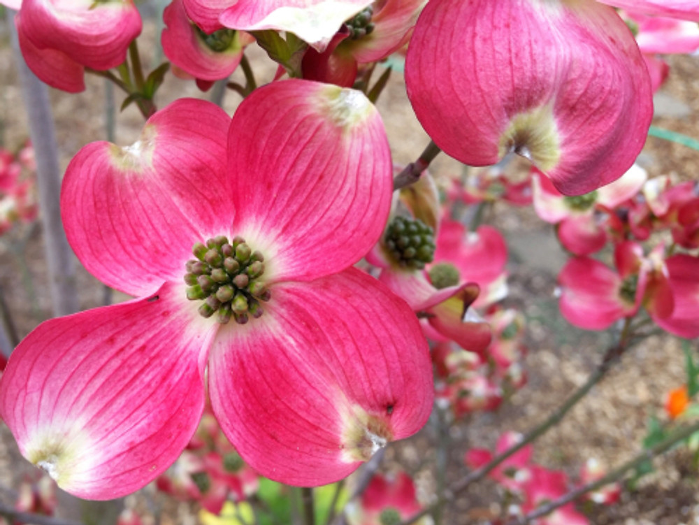 our dogwood's first blooms