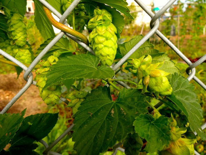 Hops growing through the fence of the community garden - I don't like beer but I dig how these grow!