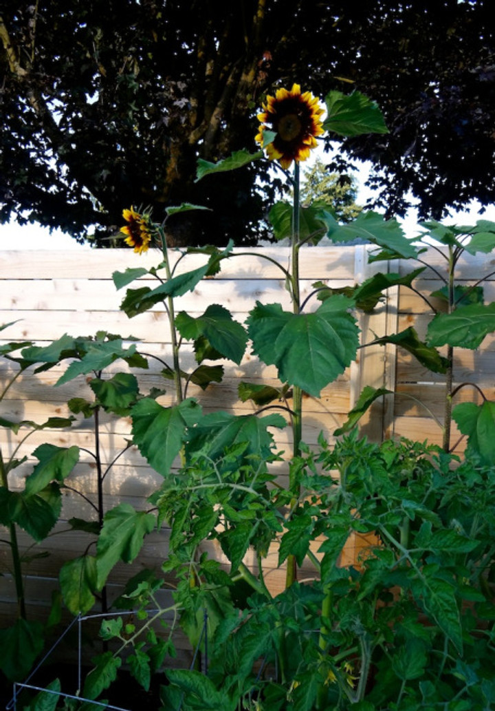 Sunflowers against our back fence now peeking over as they start to bloom!