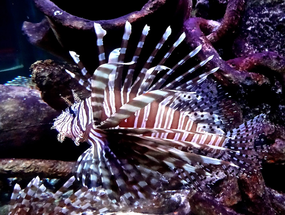 Aq-lionfish