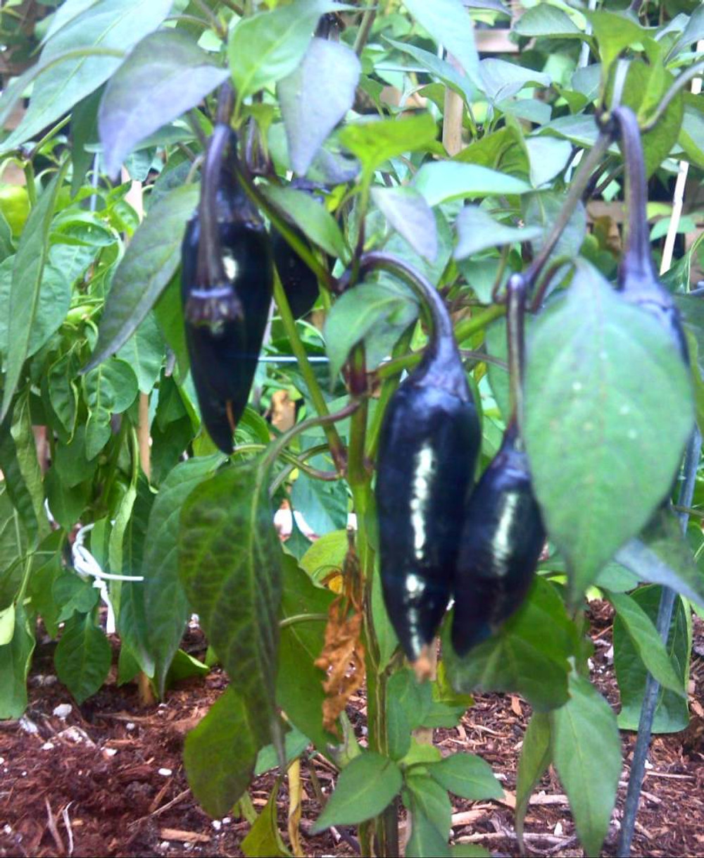black peppers are doing fantastic along with the others - just need this strange patch of rain to go away and give us back our beautiful indian summer!