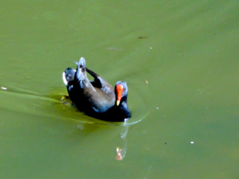 bg-quack