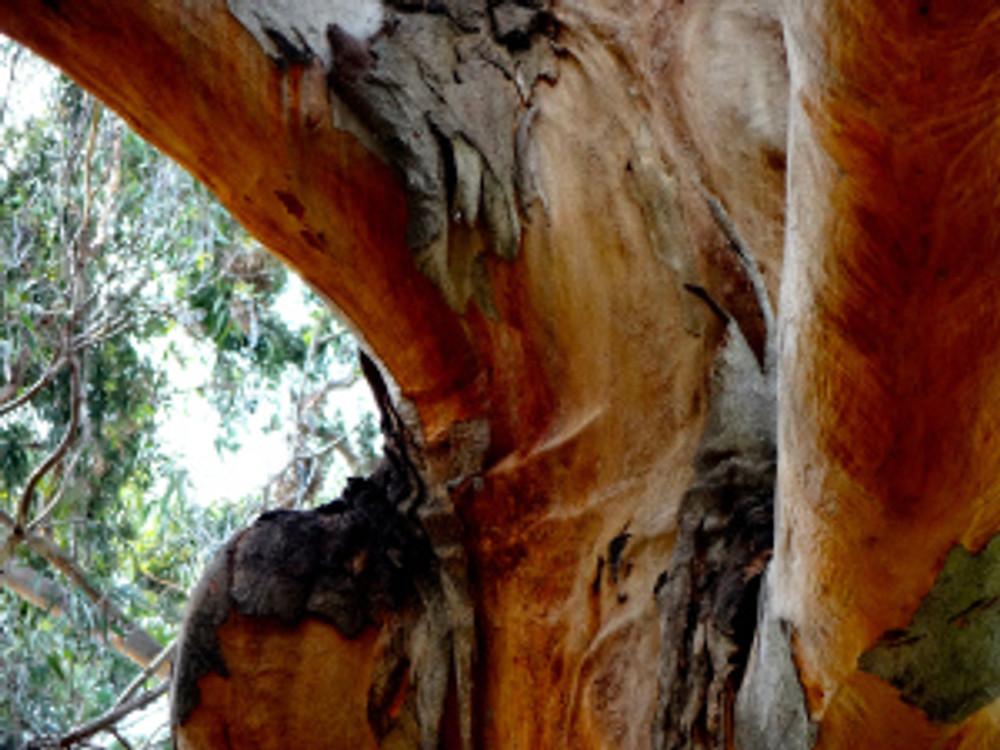 ahh, eucalyptus...
