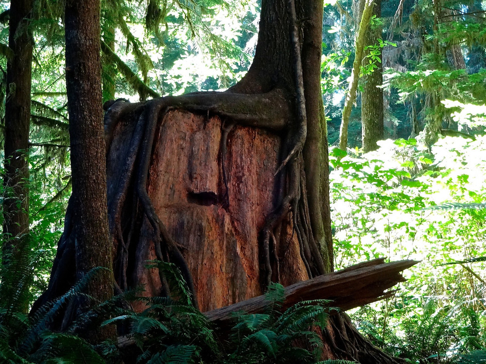 "Learned the term ""nurse log"" while hiking and while this is more of a ""nurse trunk"", it's still way cool. And that's a big ass trunk!!"