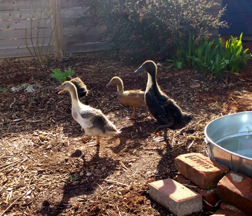 duck-1stfreerange