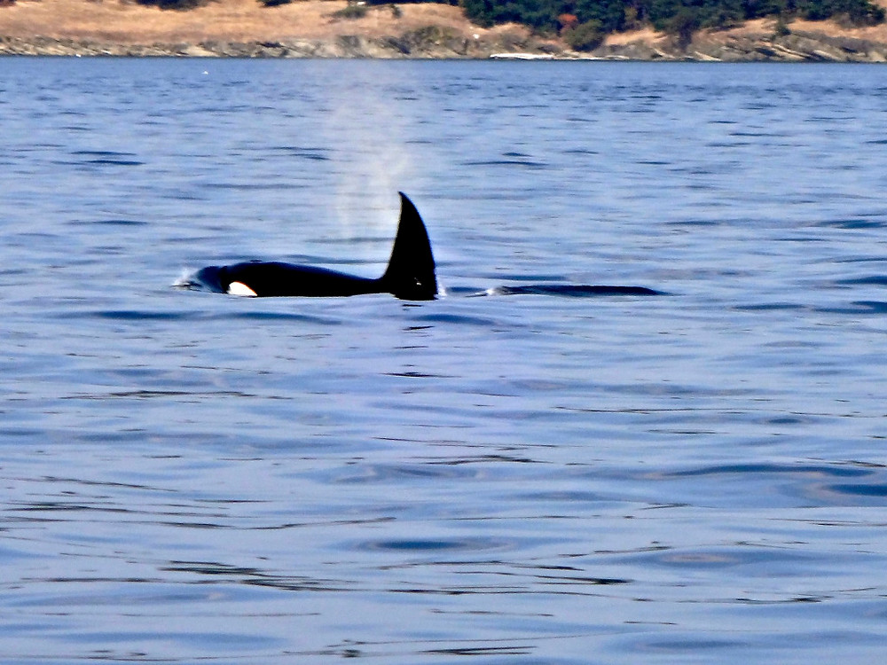 these ones were from a transient pod of orcas...the naturalist on board was very familiar with each pod and who was who, telling us about the resident orcas versus the transients and their different behavior patterns.