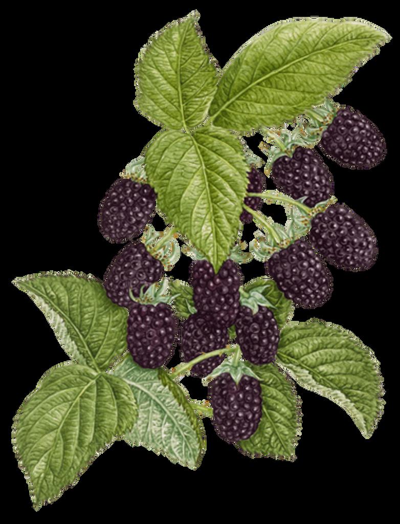 Marionberry_1-shorthorizon-782x1024