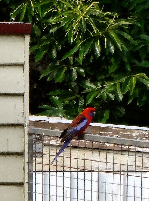 closest I could get to one of the many of these red and blue parrots all over town...so gorgeous and not as squawky as the cockatoos!