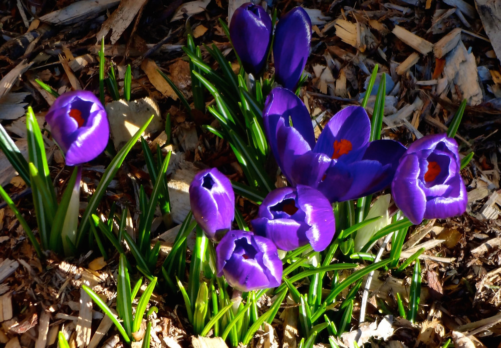 And the crocuses along with our daffodils are happy happy happy! Nothing like knowing there are good things hiding underground waiting to come out and bloom!