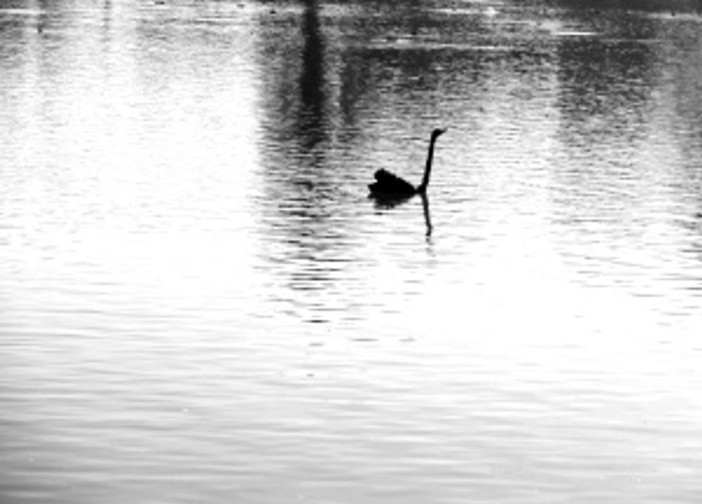 swan at albert park