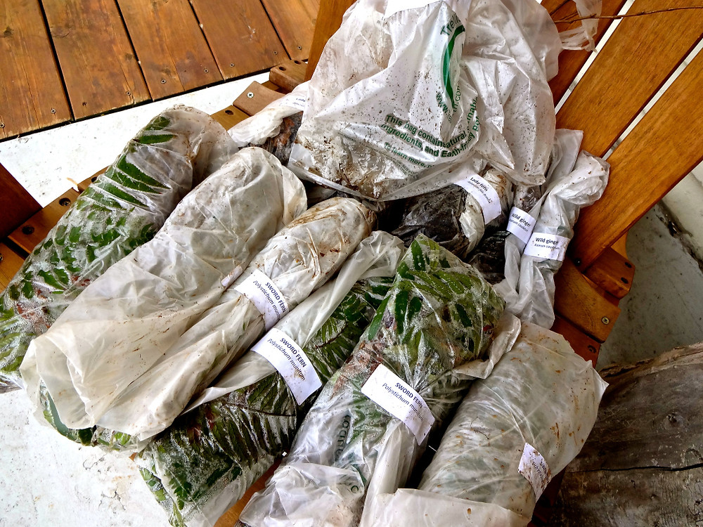 Woo hoo! Picked up our plants from the annual EMSWCD Native Plant Sale - sword ferns, deer fern, wild ginger, and salmon berry - all at great deals!