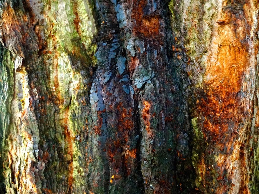 Tree bark is rad. (Sequoiadendron giganteum)