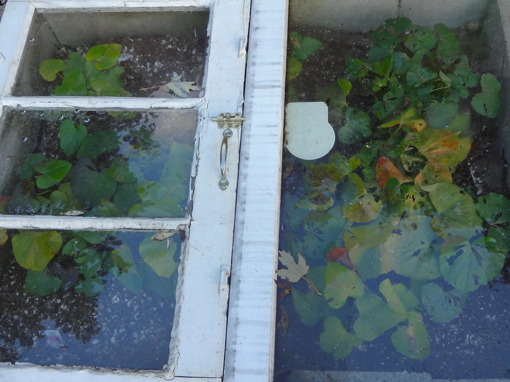 sweet potatoes under glass - waiting for the last possible minute to harvest :)