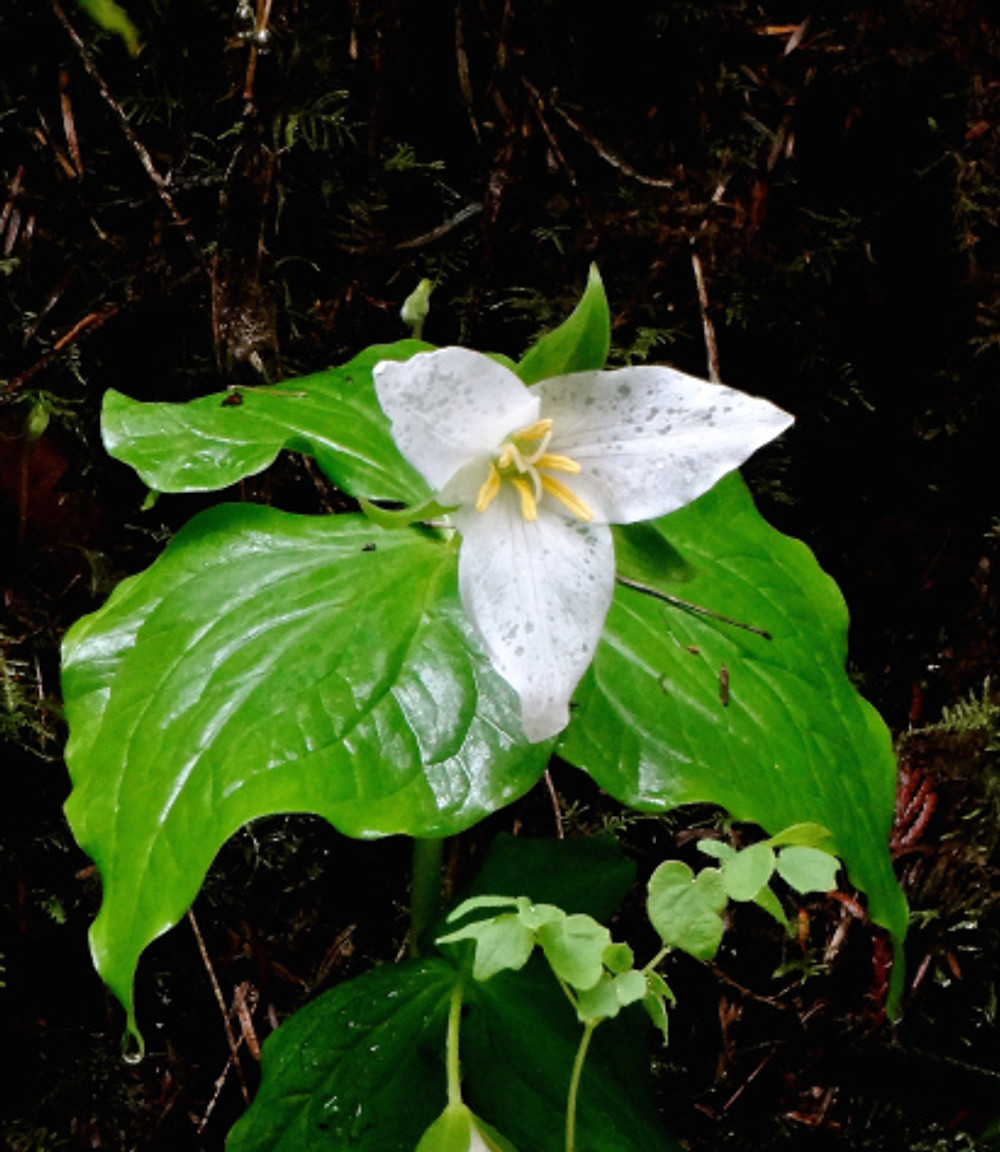 Spotted tons of trilliums while hiking through Forest Park...love them!