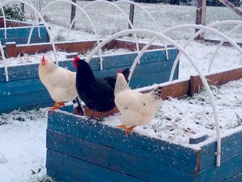 Coastal Farm Life: Easy-Peasy Winter Duck + Chicken Keeping