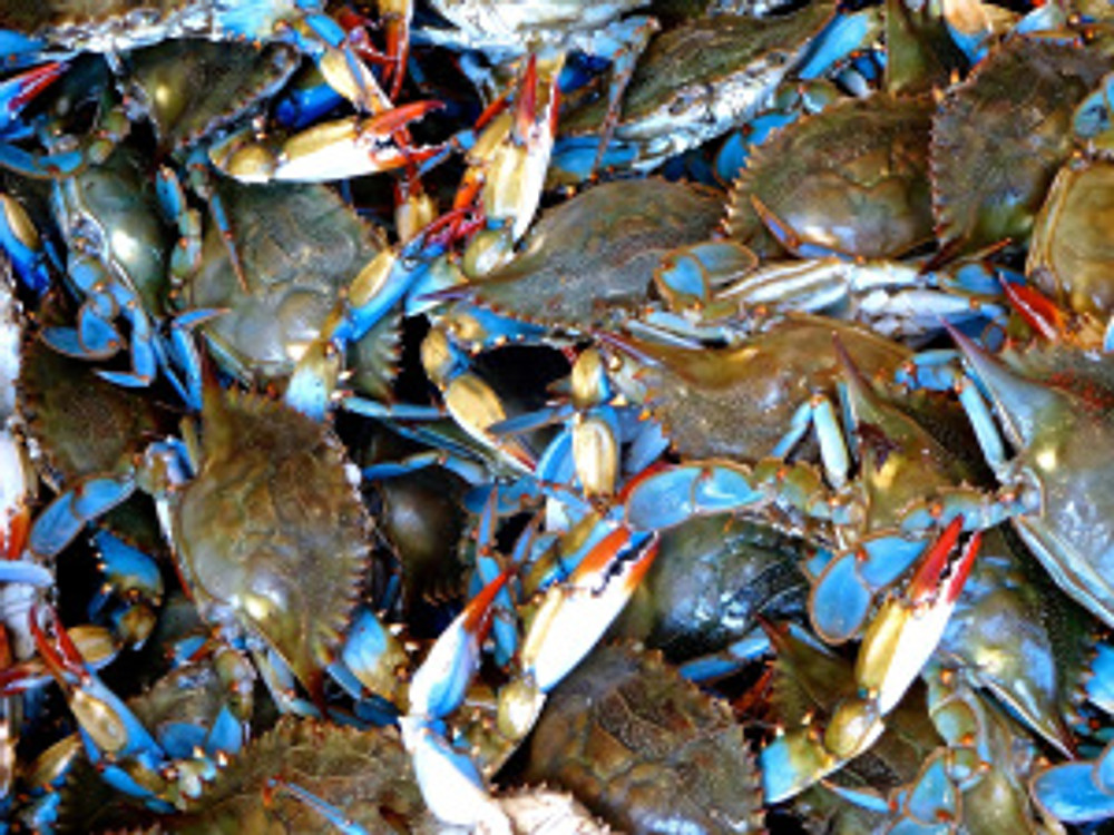 blue crab - we took home 26 of these gorgeous gals for just $35 - dang! tasty but a lotta work for not a lotta meat, hmm...