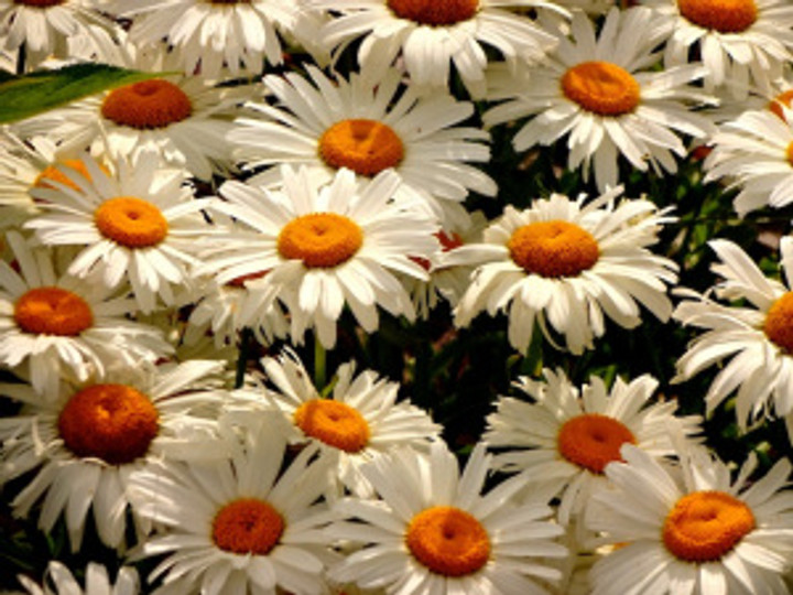 the daisies in the garden happy as can be...