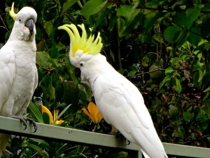 cockatoos spotted on the walk back from the lake
