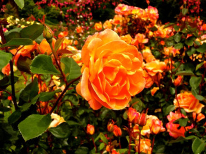 falling in love with the blooms at the International Rose Test Gardens