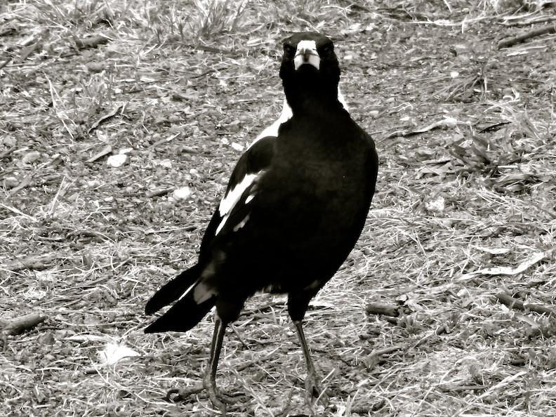 i love magpies!
