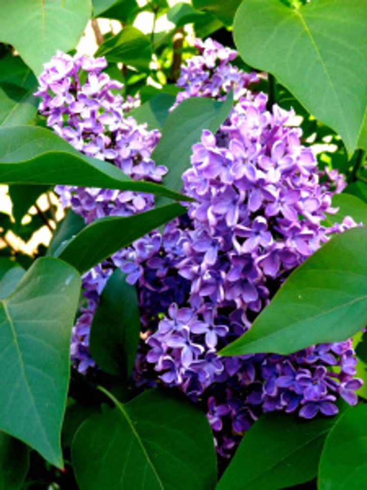 the lilacs are in full force and i couldn't be happier!