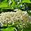 Thumbnail: Sureau, fleur, vrac