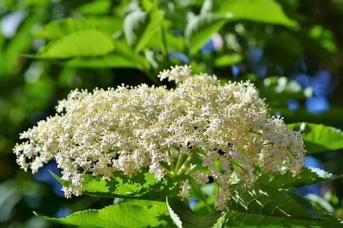 Sureau, fleur, vrac