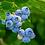 Thumbnail: Bleuet, feuille, vrac