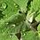 Thumbnail: Cataire, fleur et feuille, vrac