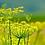 Thumbnail: Fenouil, graines moulues, vrac