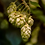 Thumbnail: Houblon, fleur, vrac