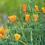 Thumbnail: Pavot de Californie, herbe, vrac
