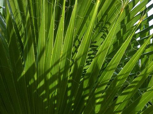 Palmier nain, poudre, vrac