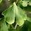 Thumbnail: Ginkgo biloba, feuille en poudre, vrac